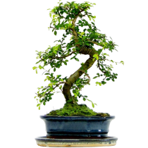 Bonsai_viaz_9
