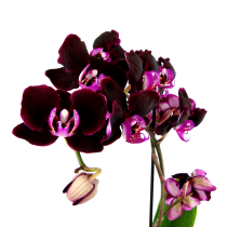 black_orchidea_category