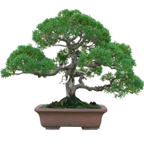 bonsai-ekskluziv-fitosystems-ru