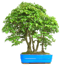 bonsai-klyon-fitosystems-ru6