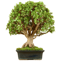 bonsai-krassula-fitosystems-ru