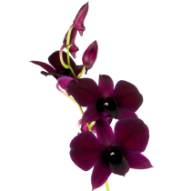 dendrobium_category