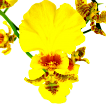 oncidium_category