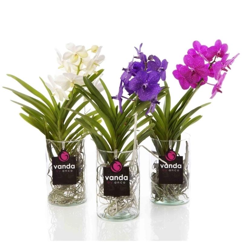Орхидея ванда микаса синдер