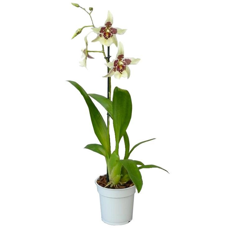 Орхидея камбрия беалара Тахома