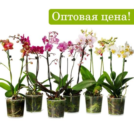 Орхидея фаленопсис разветвленная
