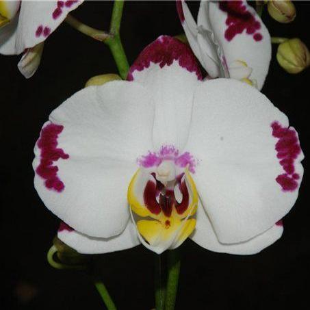 Орхидея фаленопсис элегант виби