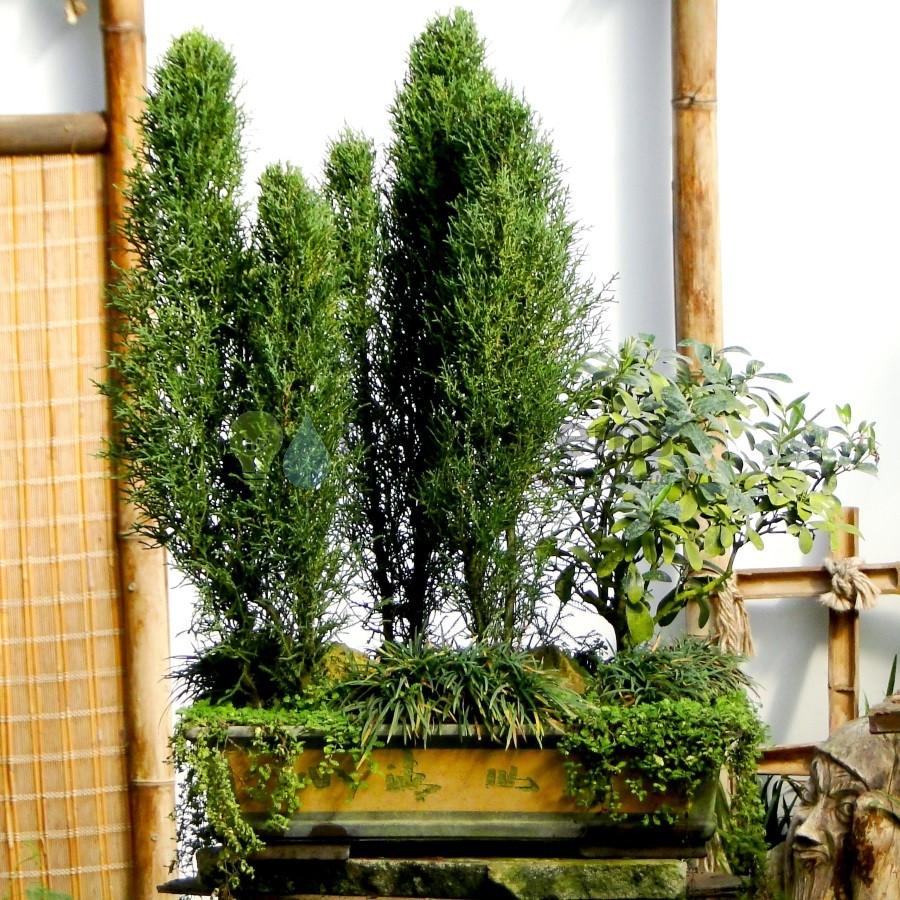 Бонсай Кипарисовый лес с бирючиной 50 см