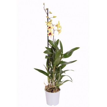 Орхидея дендробиум санок Банана Шоколад