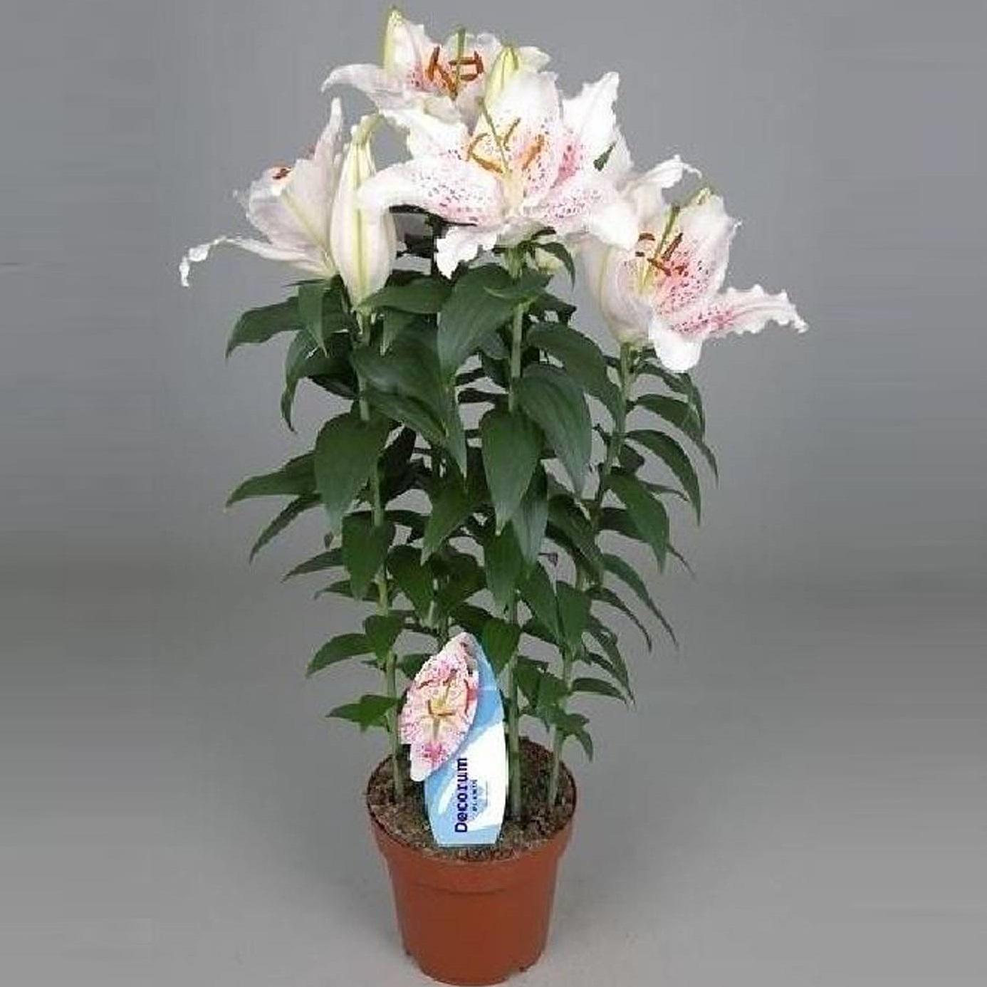 Лилия Литл Рейнбоу белая 60 см