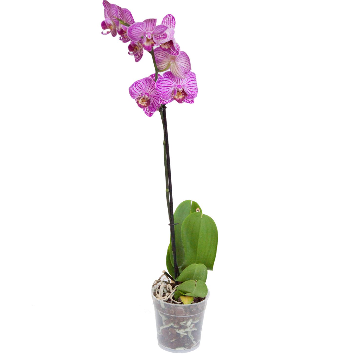 Орхидея фаленопсис Nemo 1 ствол