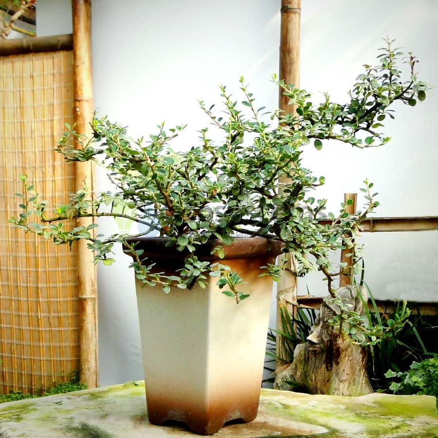 Бонсай кизильник в высокой вазе 50 см