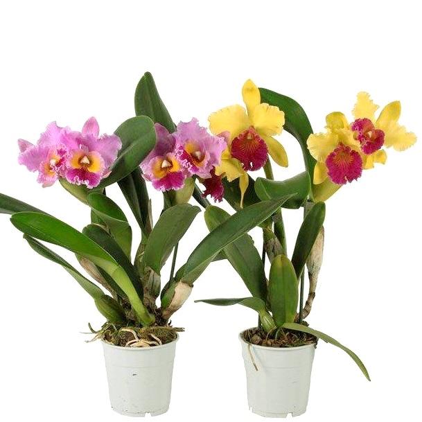 Орхидея каттлея в ассортименте