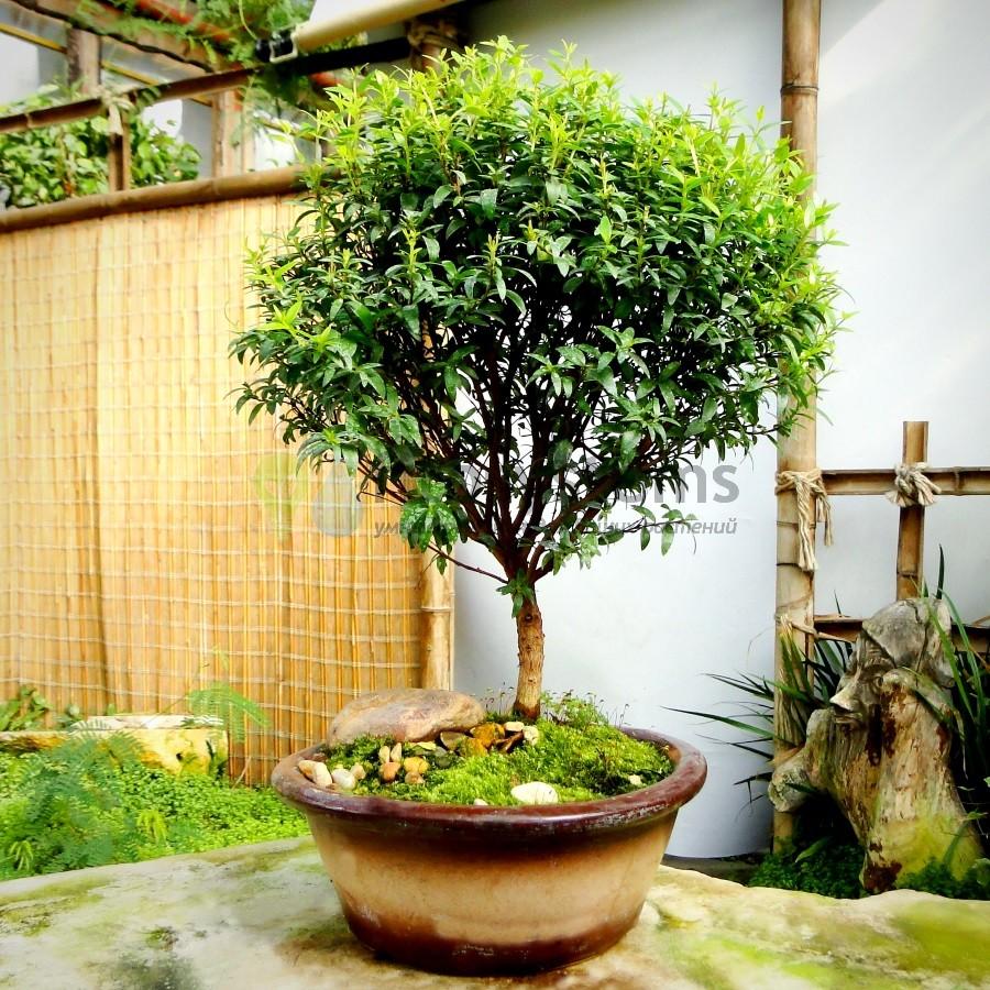 Бонсай миртовое дерево 30 см