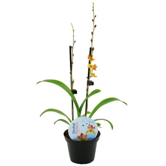 Орхидея ховеара Chain Tzy Sunset
