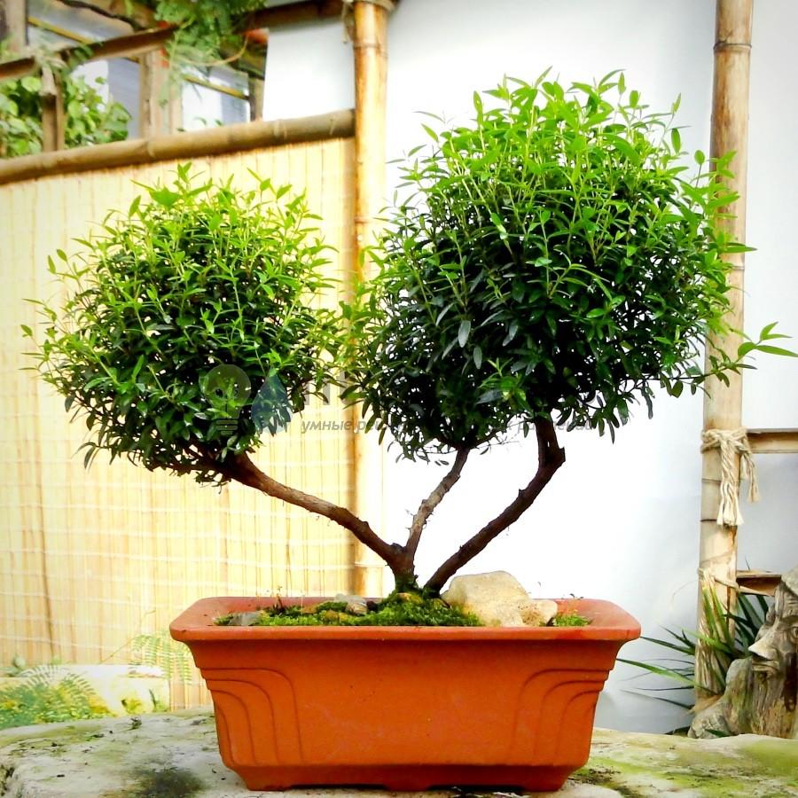 Бонсай миртовое дерево «Сила» 30 см