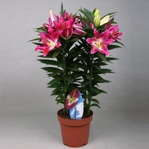 Лилия Восточная розовая 60 см