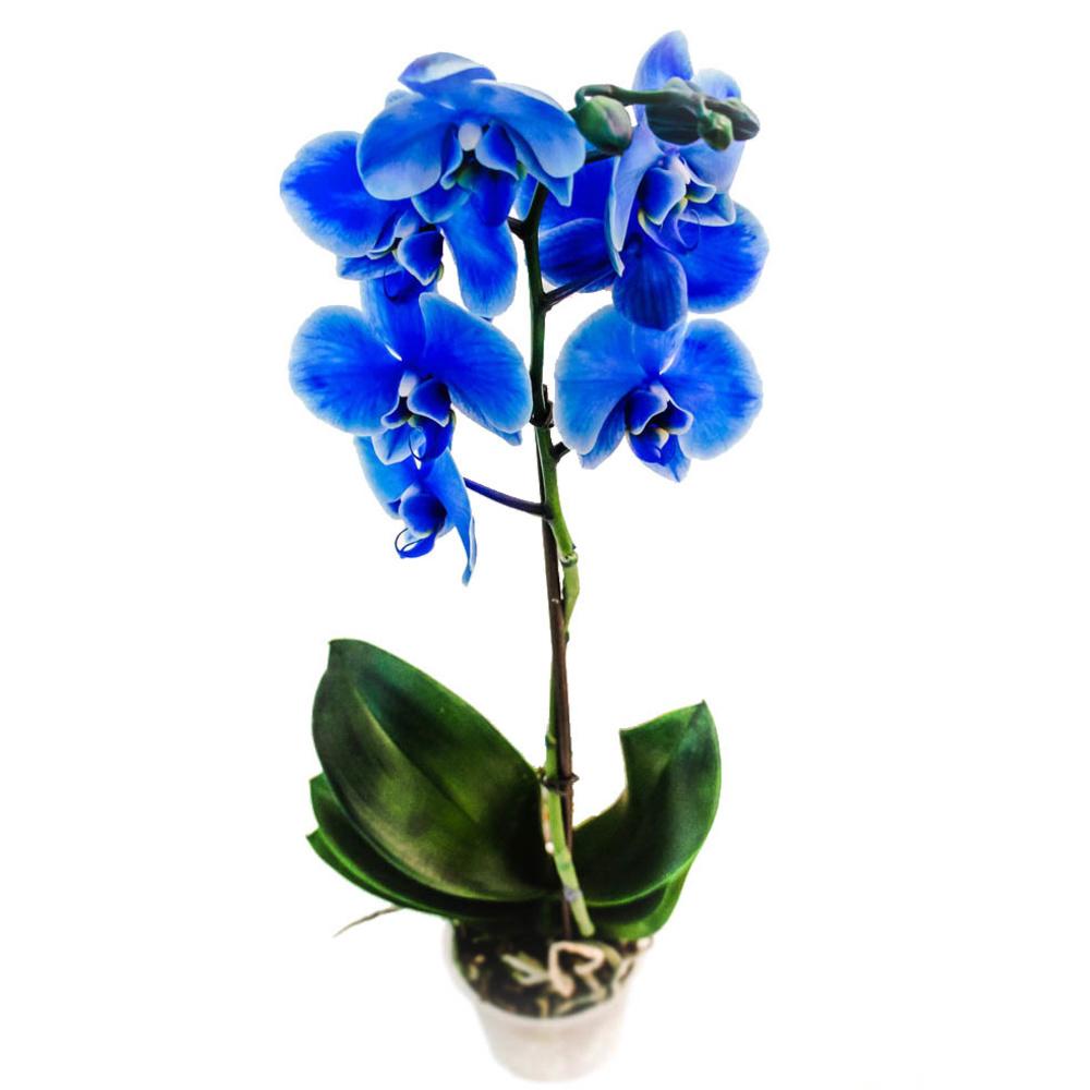 Орхидея фаленопсис королевский голубой