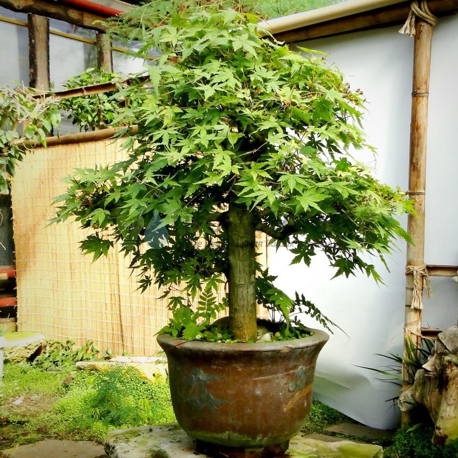 Клен дланевидный «Древний» 70 см