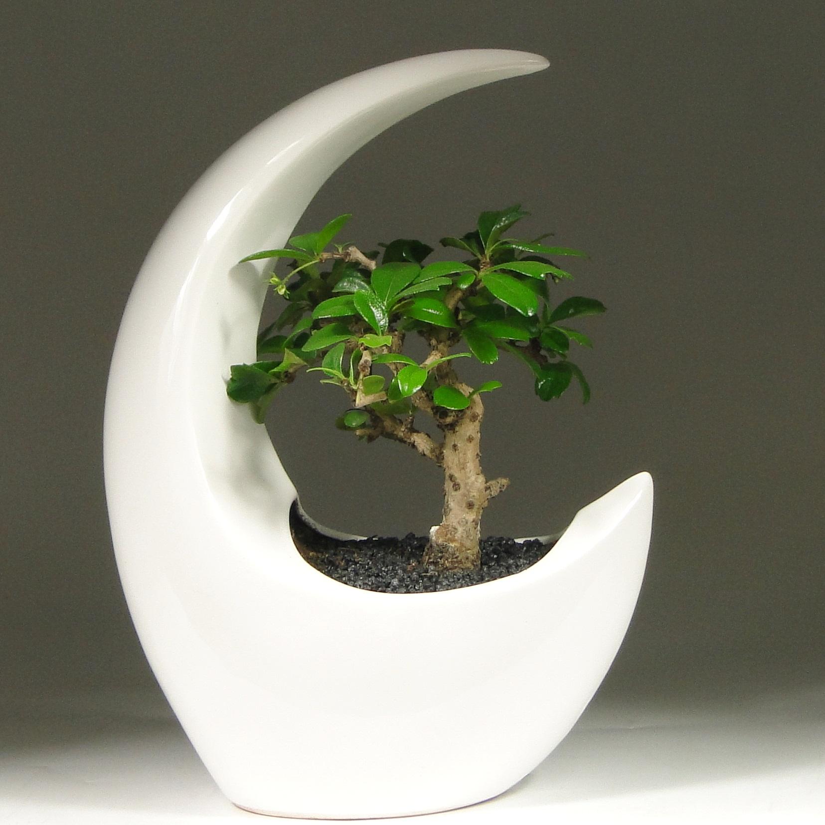 Бонсай в белой луне 20 см