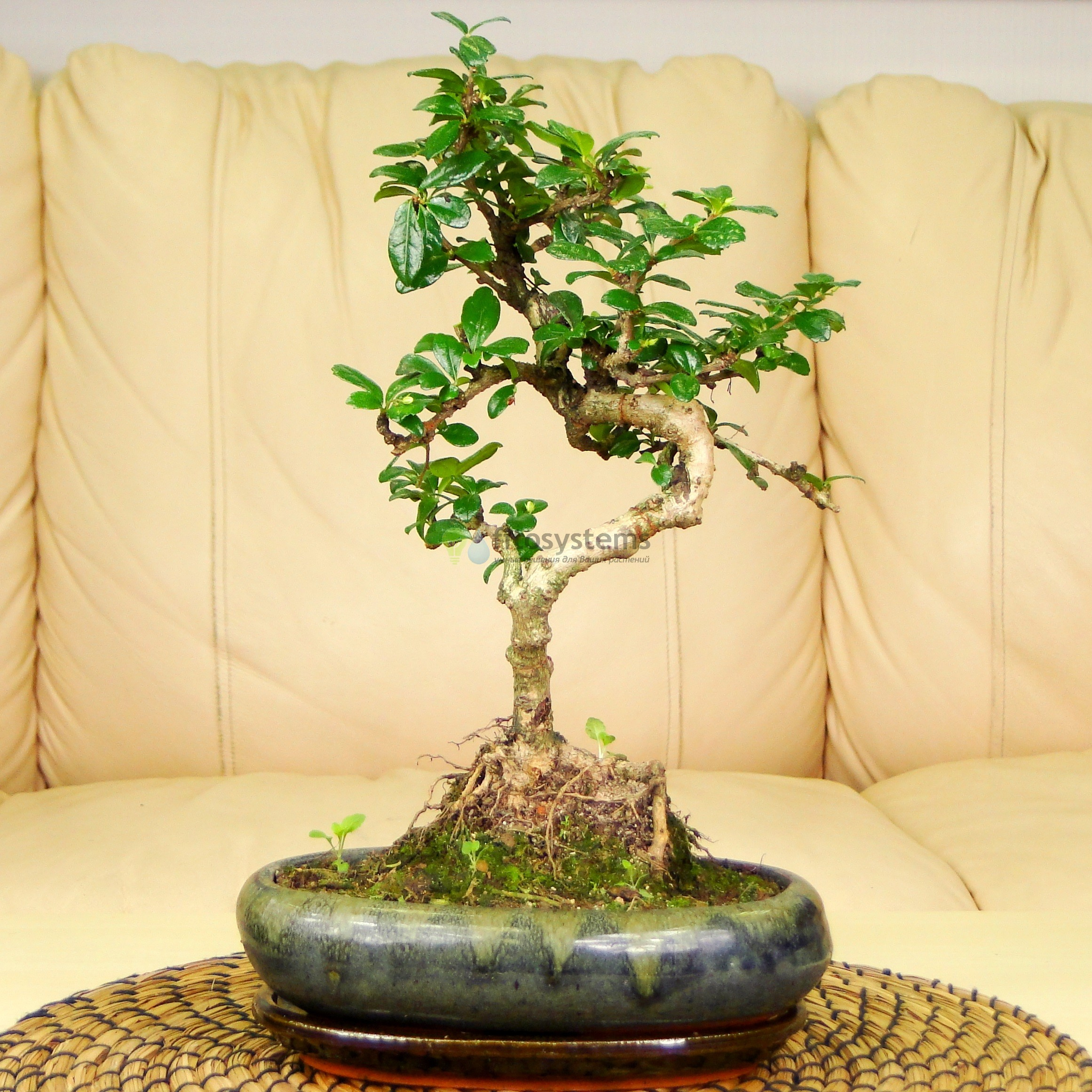 Бонсай Кармона «Дочь императора» 34 см