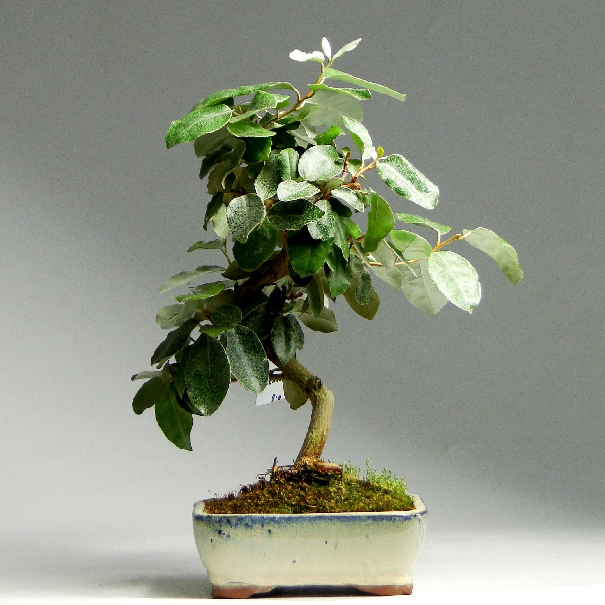 Бонсай Eleagnus «Свежесть» 33 см