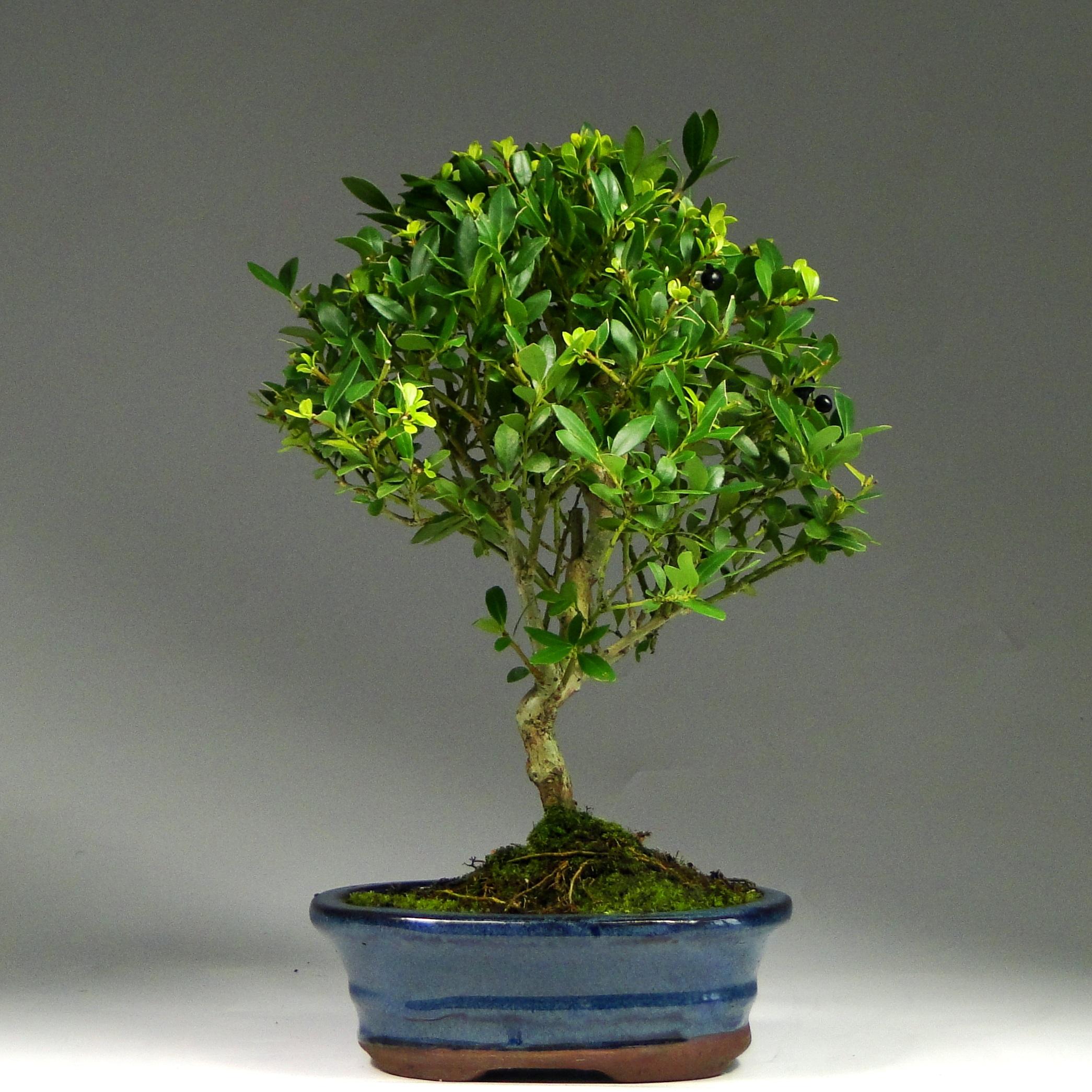 Бонсай Падуб «Огненный шар» 29 см