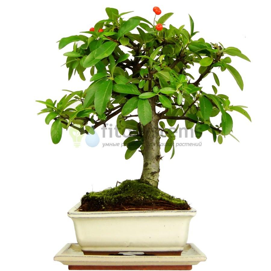 Бонсай пираканта «Плодородие» 32 см