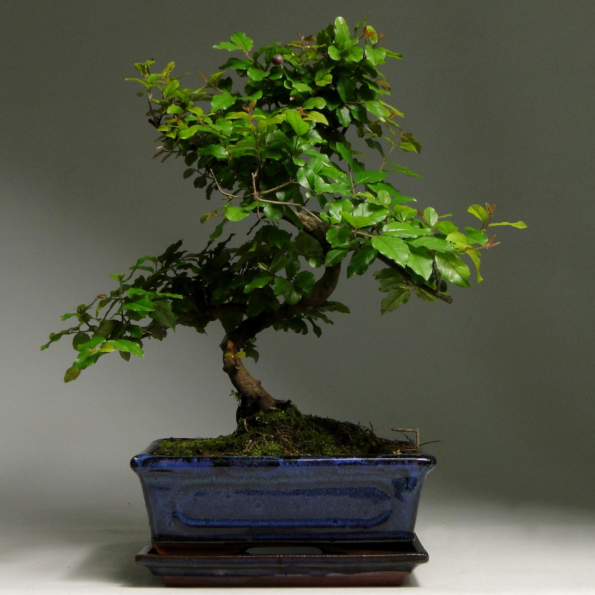 Бонсай Сагеретия «Мария» 37 см