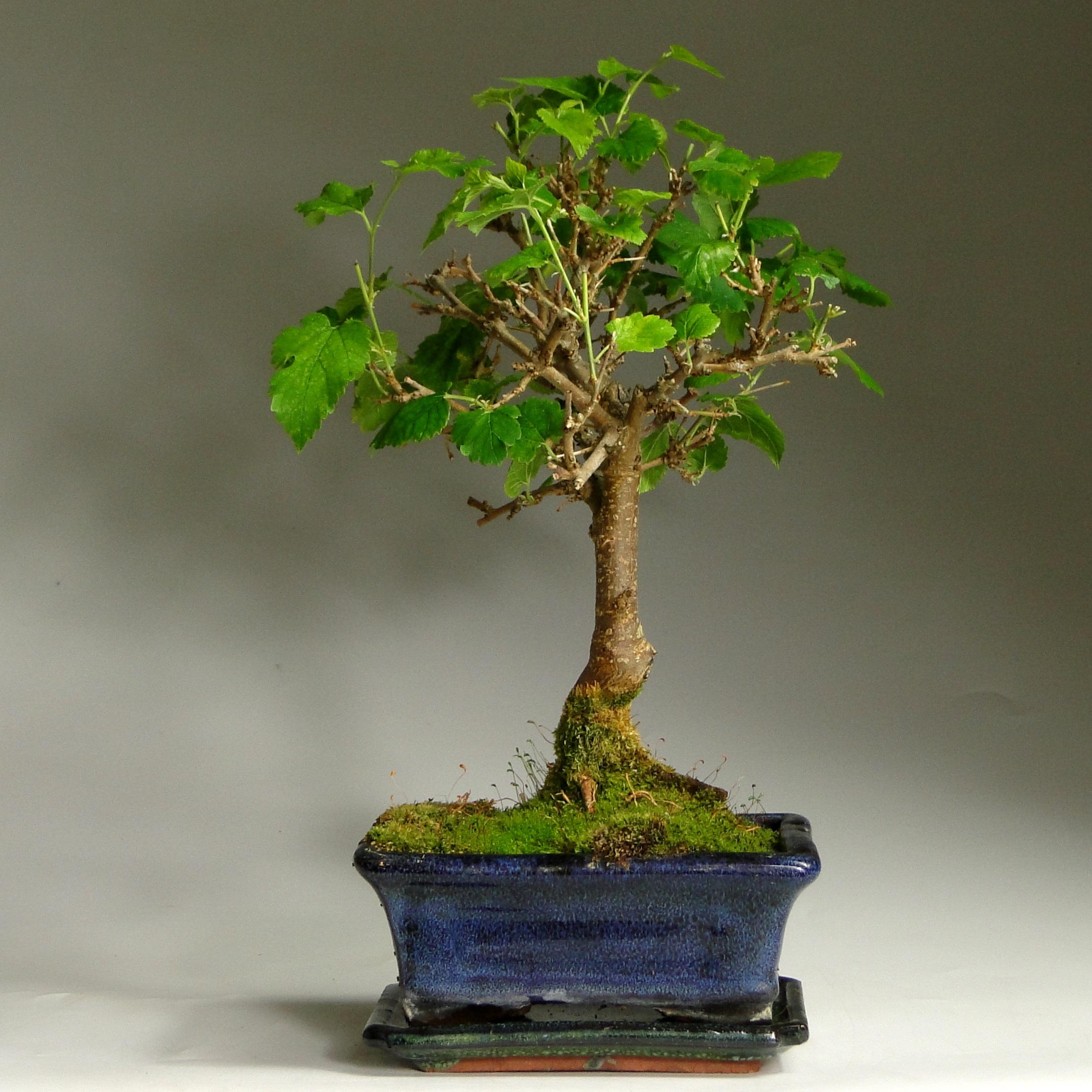Бонсай шелковица «Босиком по росе» 32 см