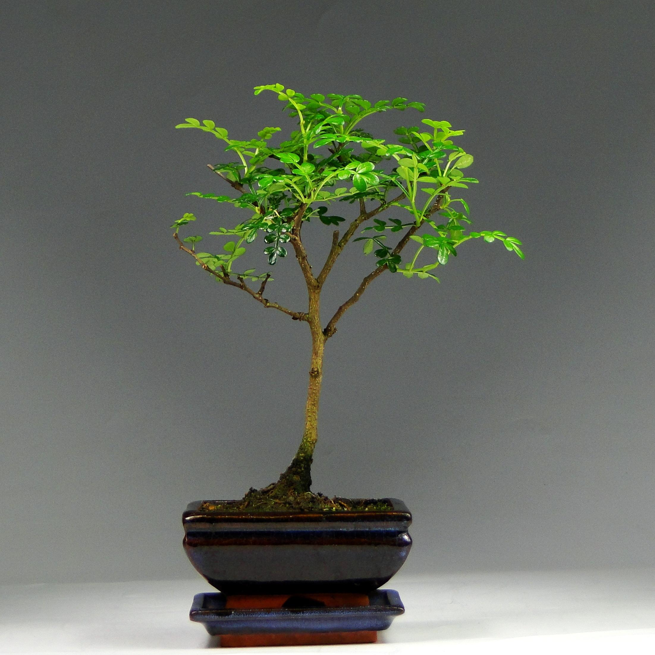 Бонсай-мини Зантоксилум 25 см