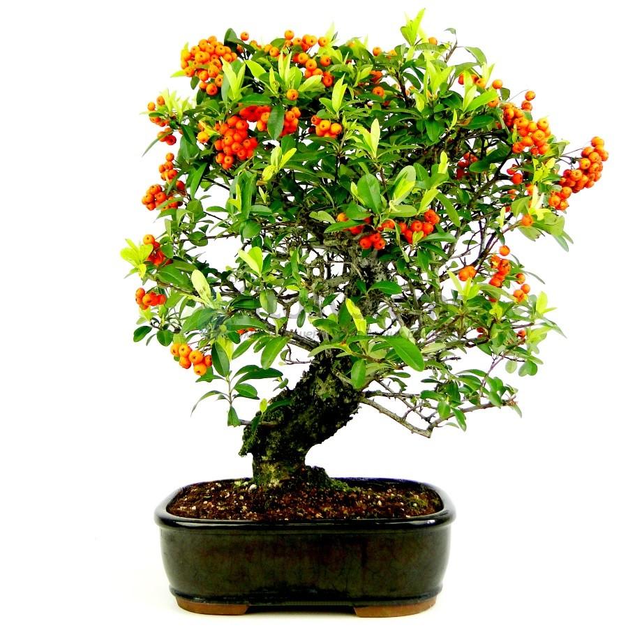 Бонсай пираканта «Пышный сад» 50 см