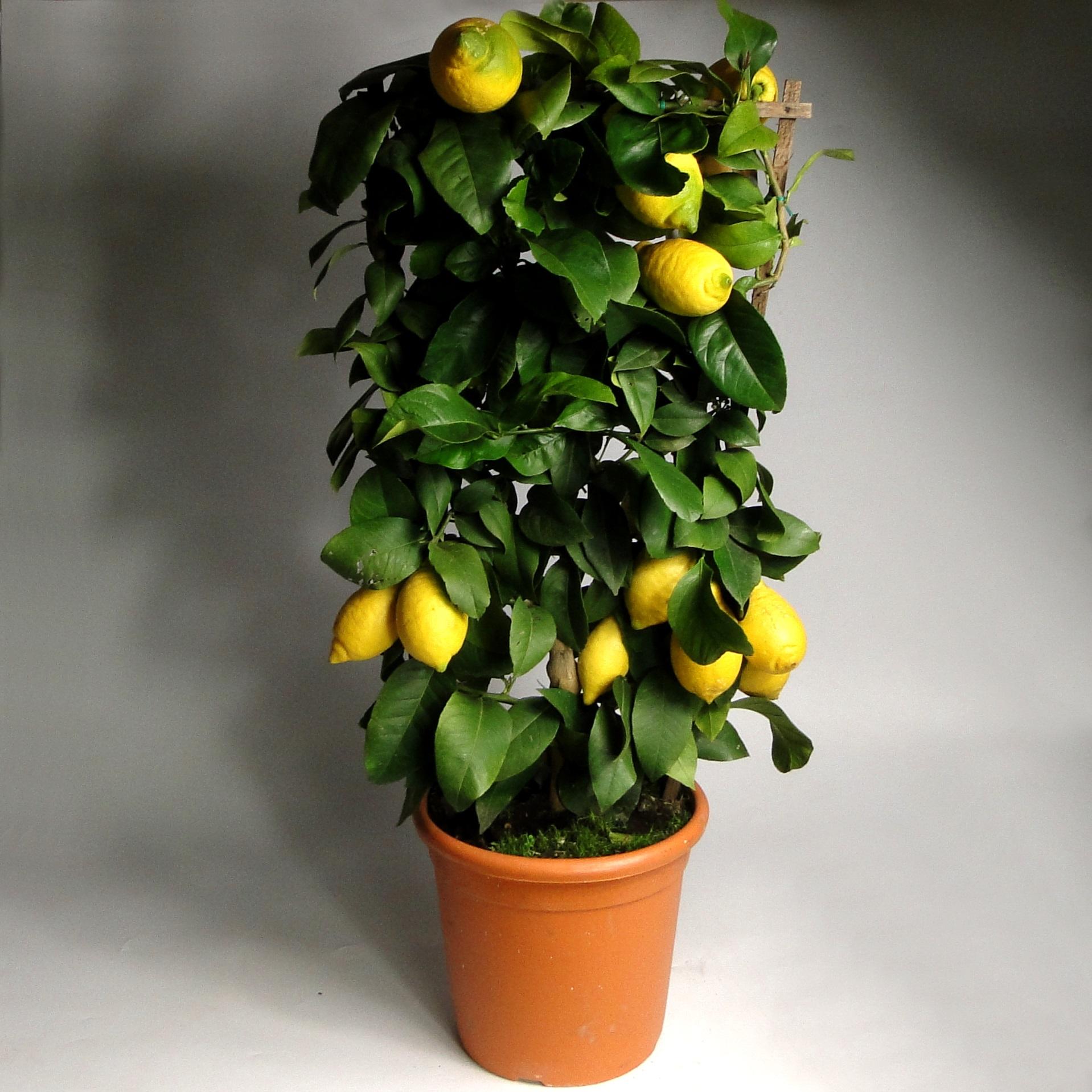 Лимон на решетке пирамида 100/21