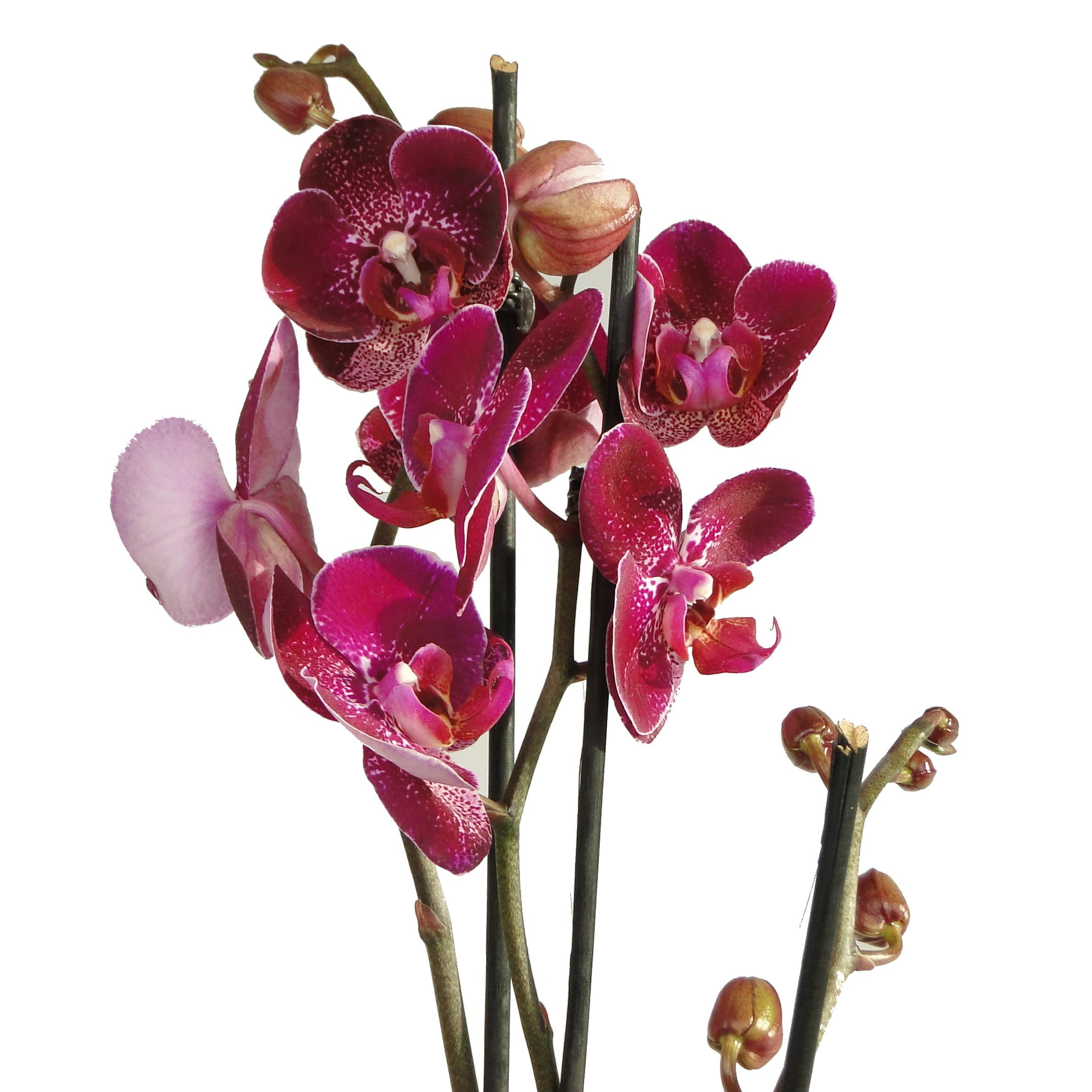 Орхидея фаленопсис Chian Xen Red Diamond