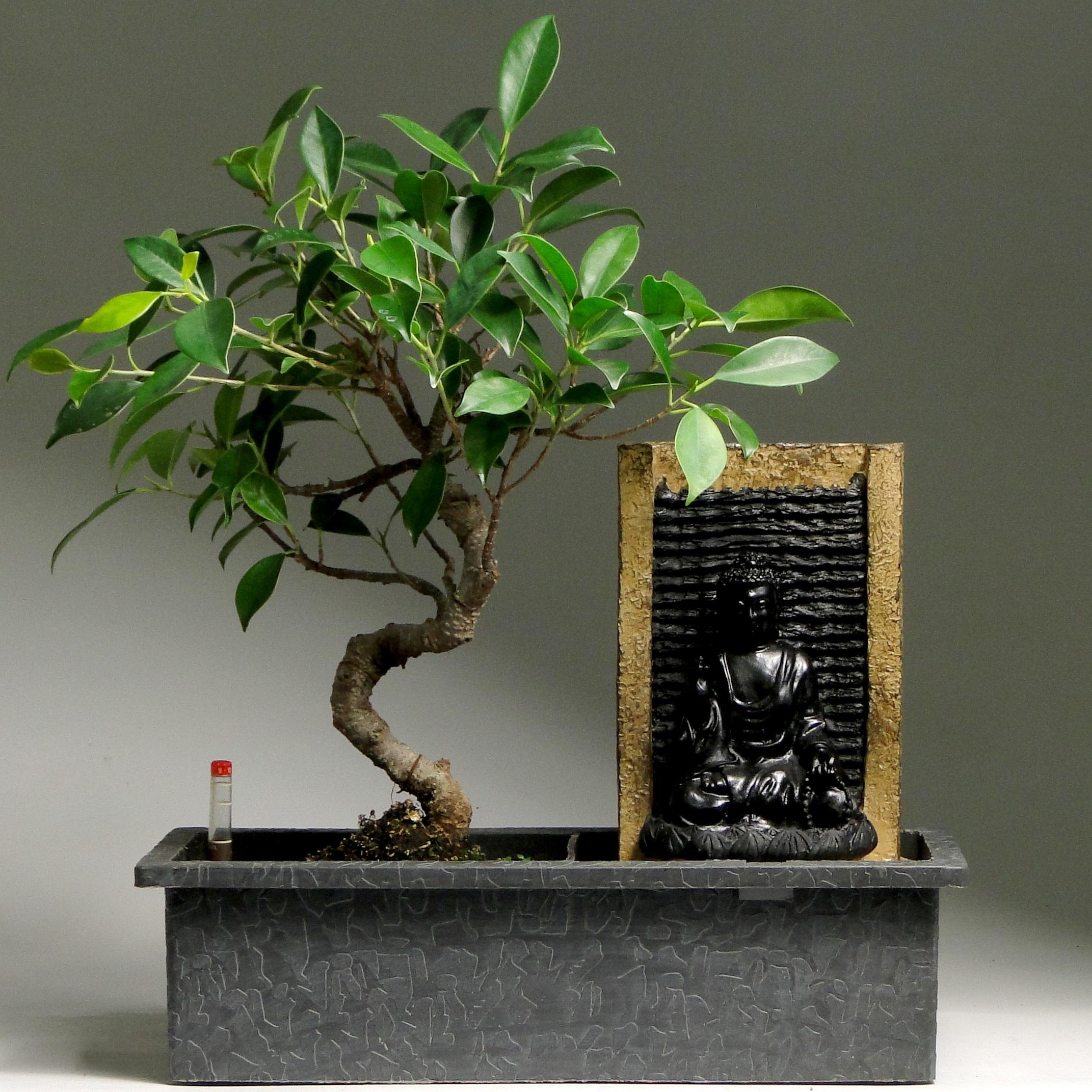 Бонсай фикус «Водопад Будды» 35 см