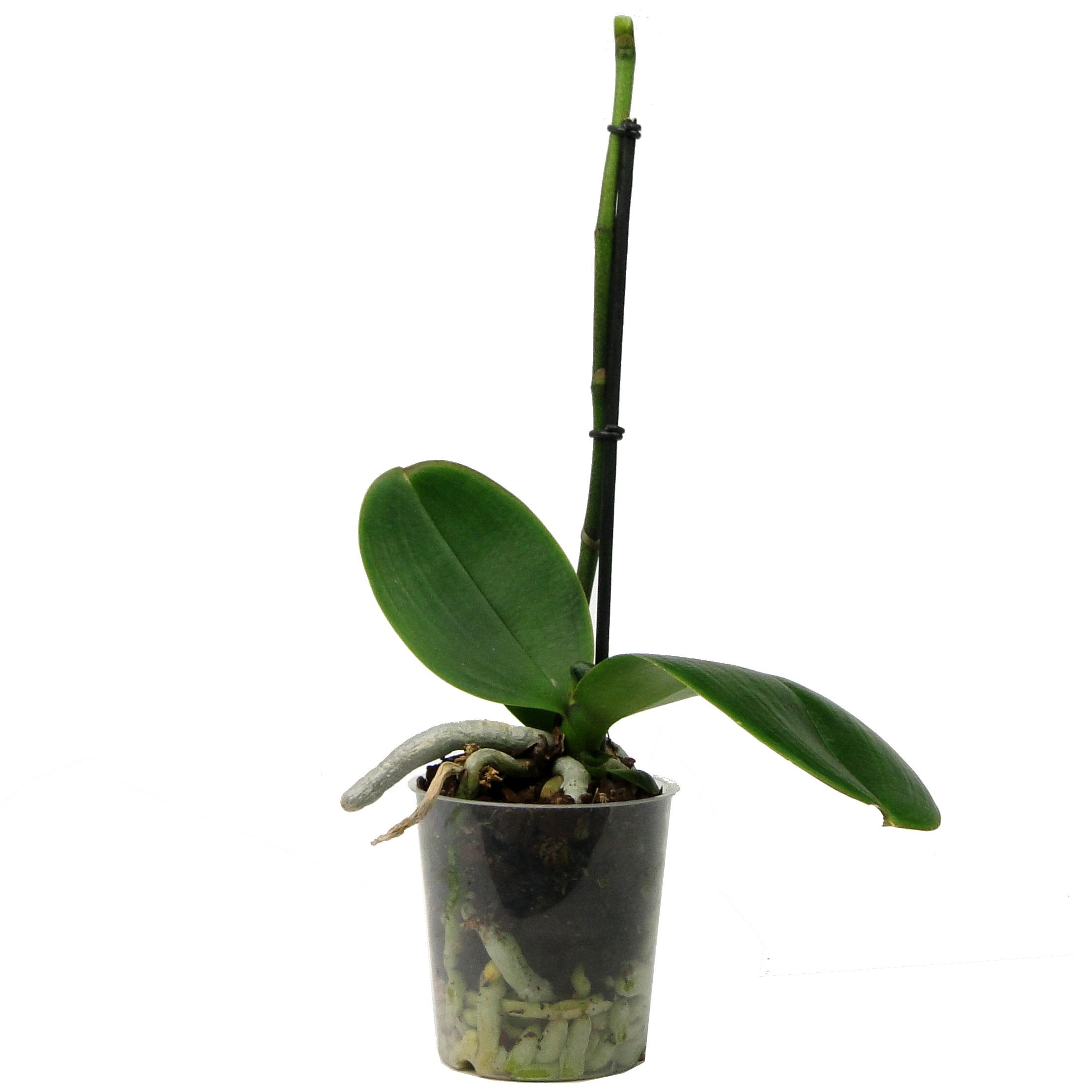 Орхидея фаленопсис отцветшая белая