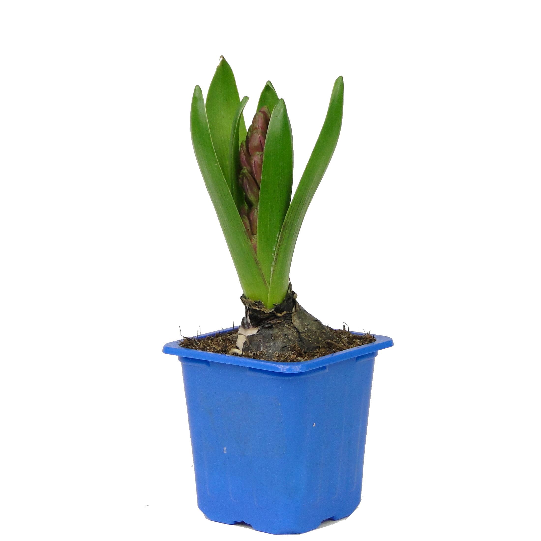 Гиацинт синий/фиолетовый 1 луковица
