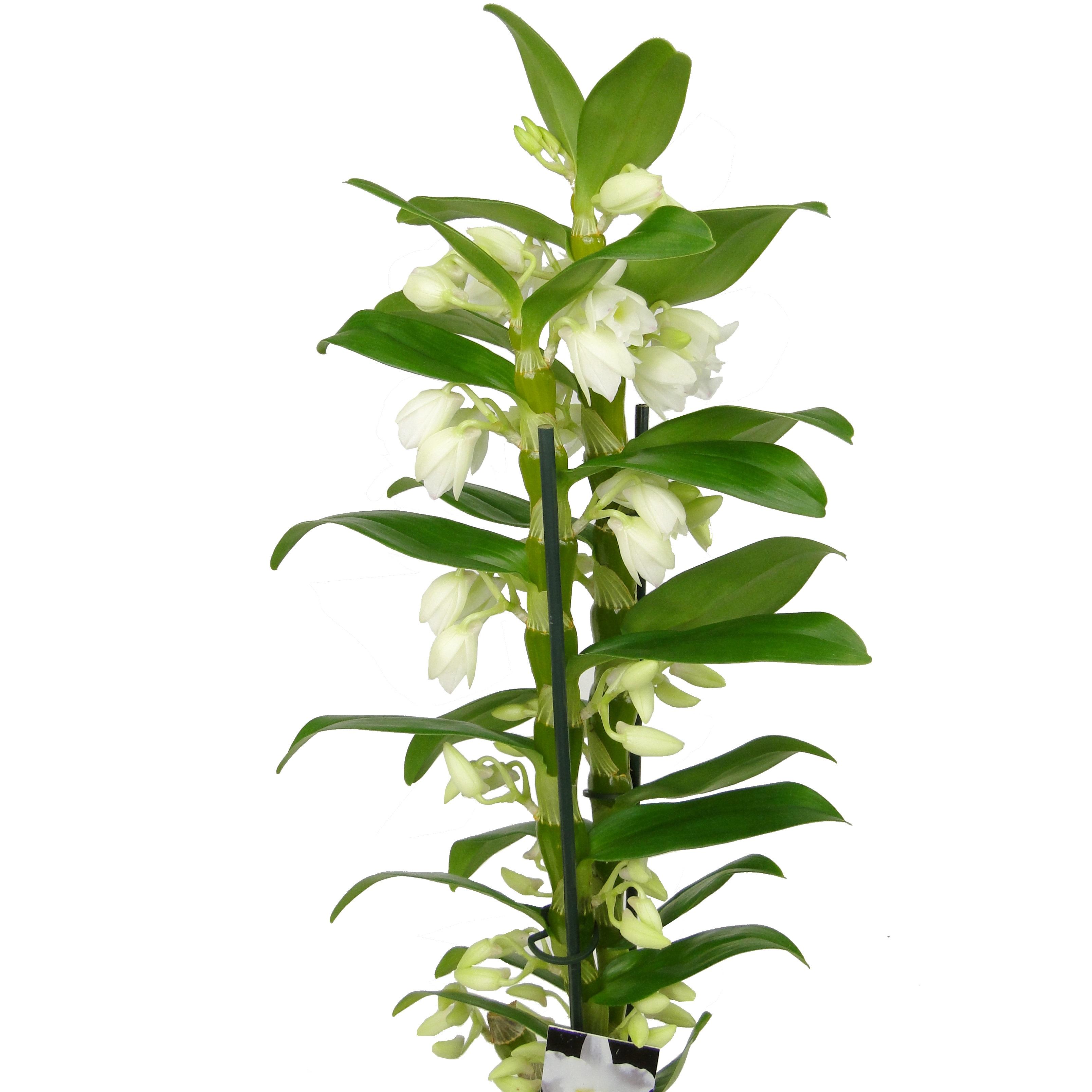 Орхидея дендробиум нобиле Аполлон 2ст