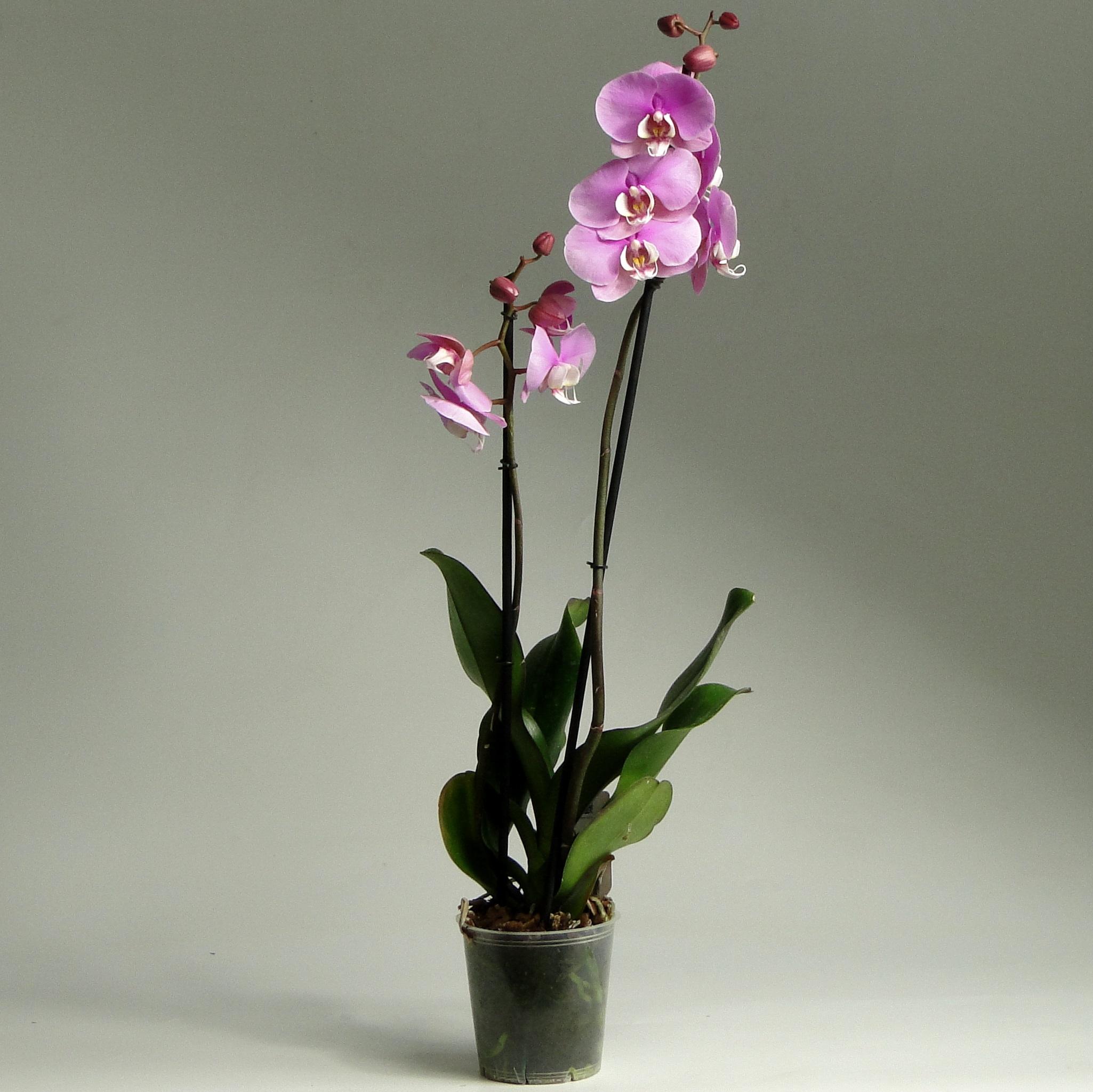 Орхидея фаленопсис Pink Lady 2 ст