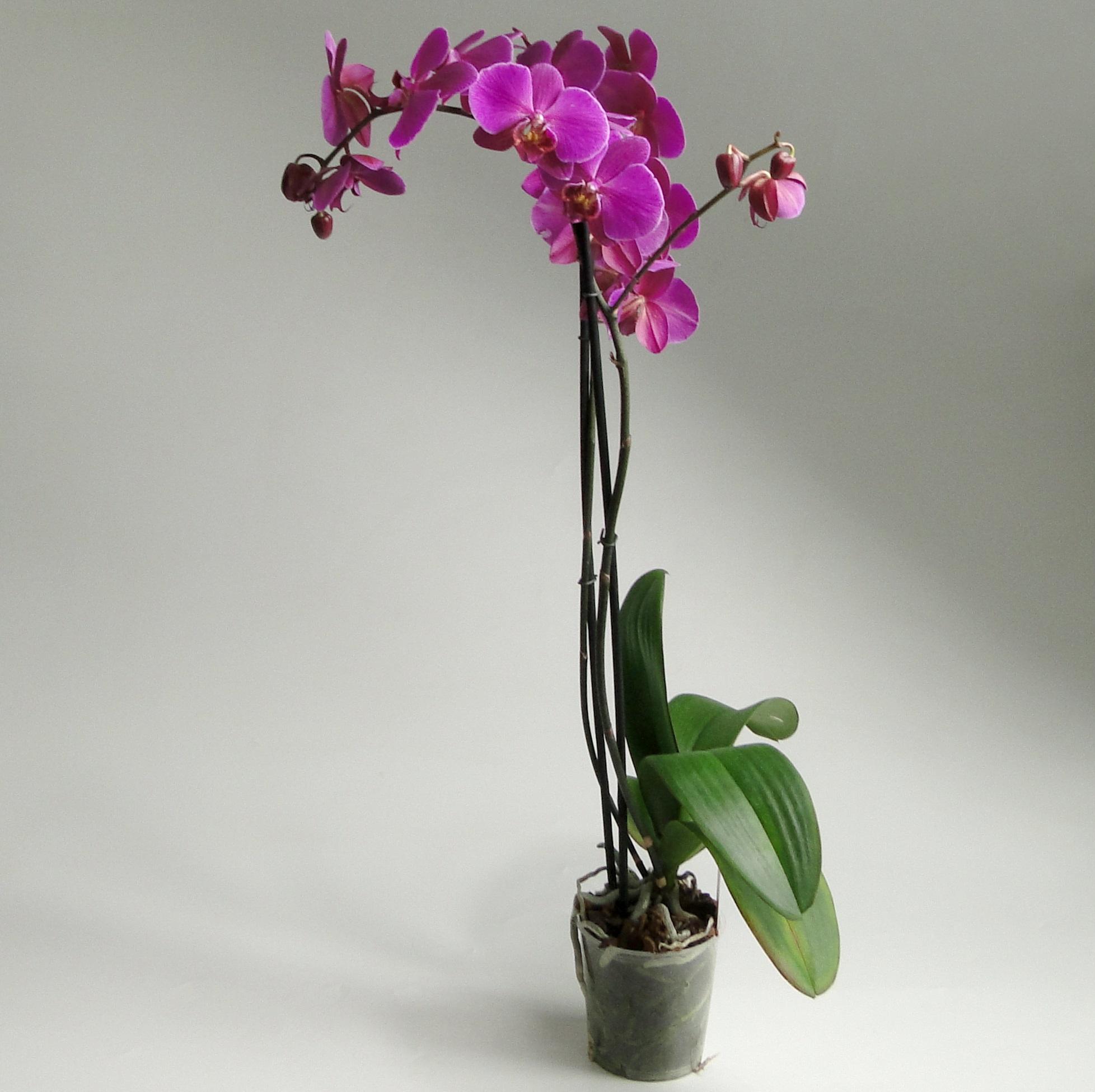 Орхидея фаленопсис Джуди 2 ст