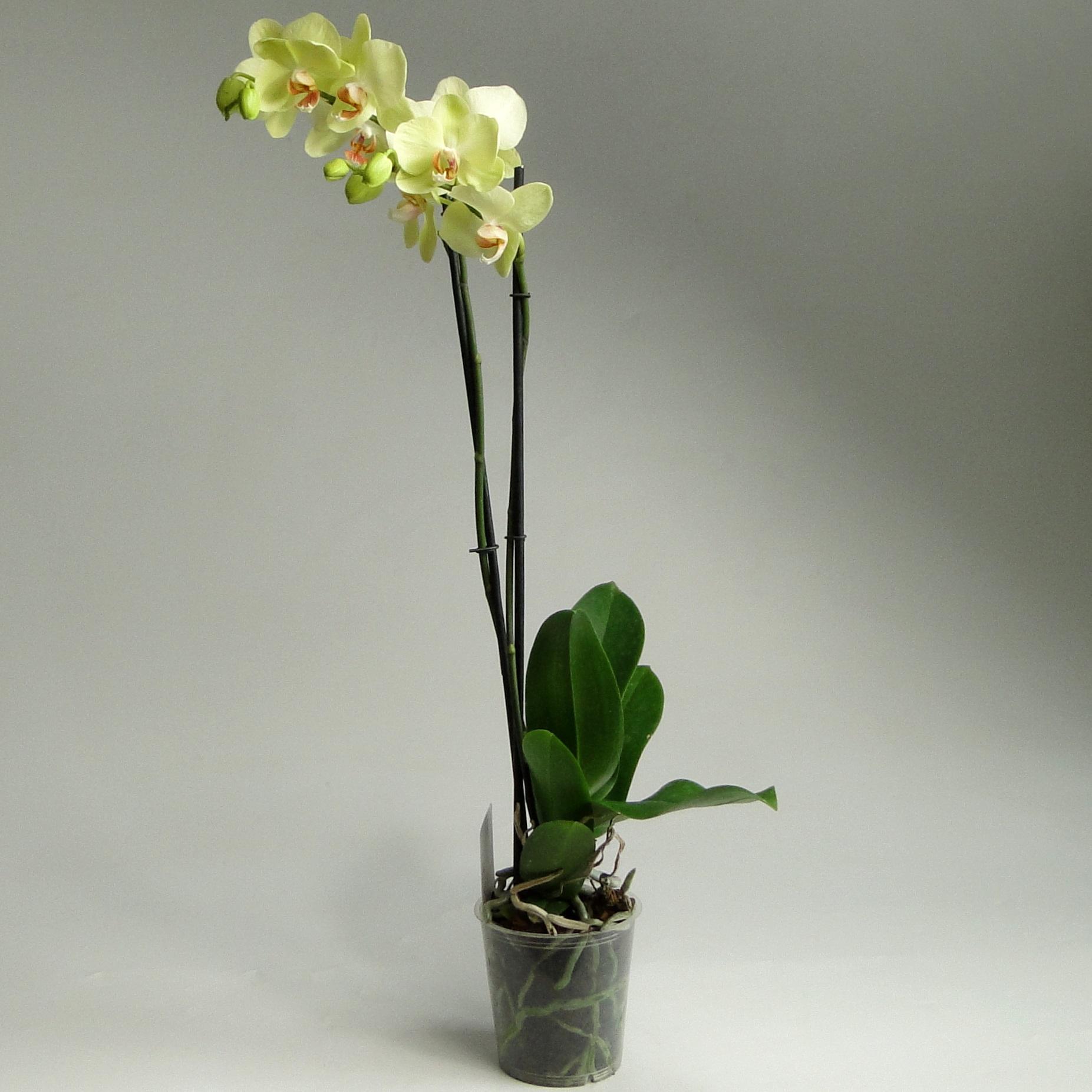 Орхидея фаленопсис Лайм 2 ст