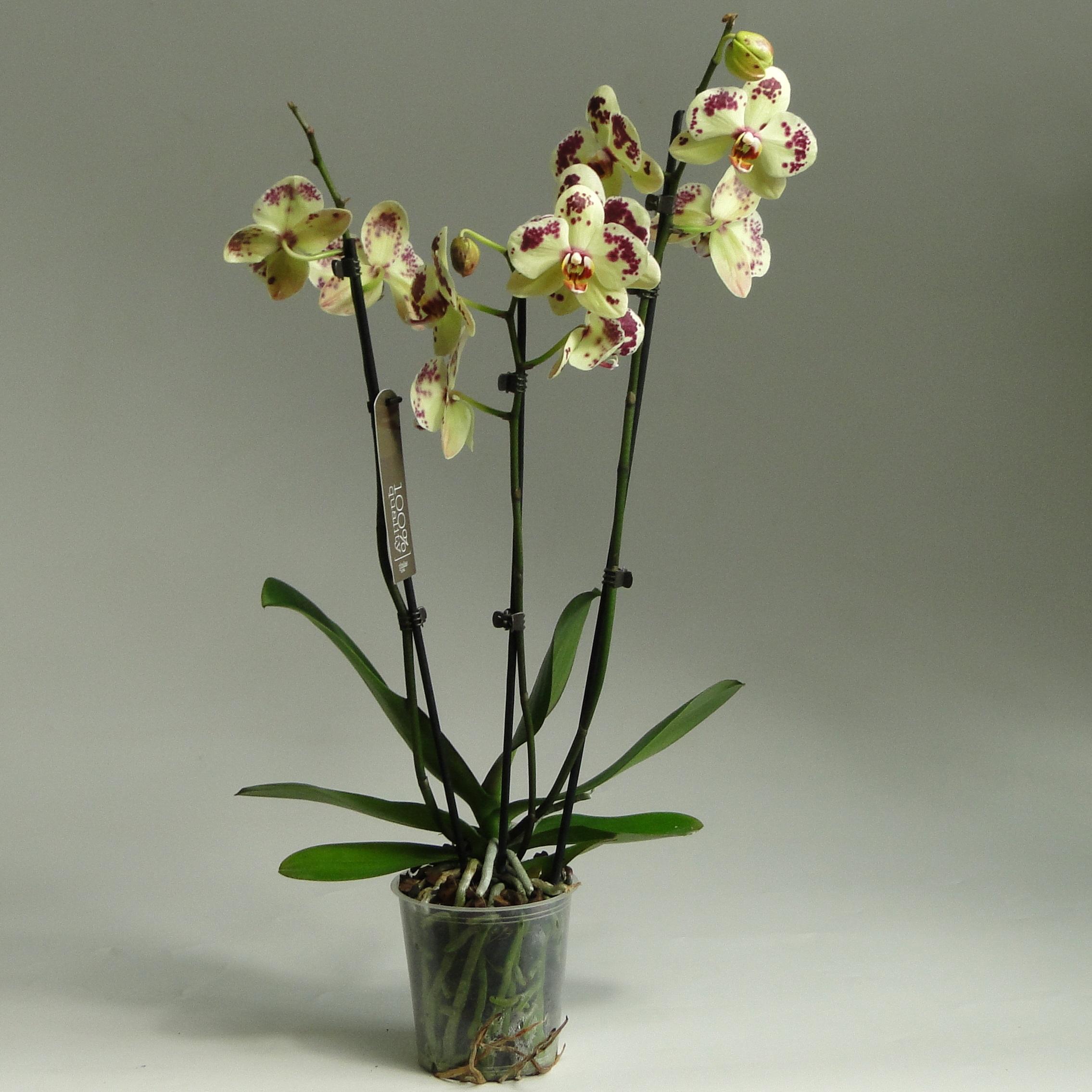 Орхидея фаленопсис Starfish