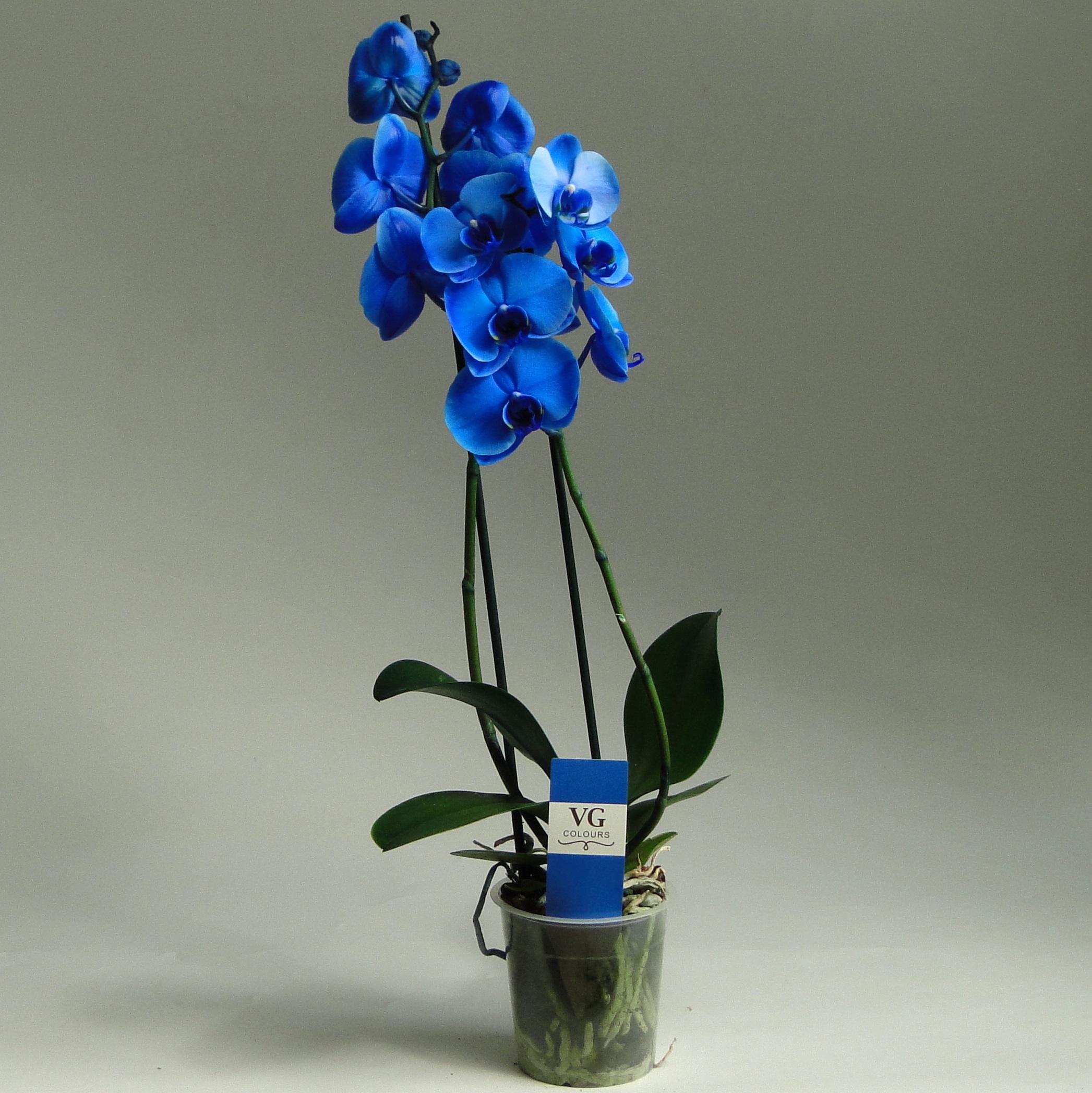 Орхидея фаленопсис синий (голубой) 2 ст
