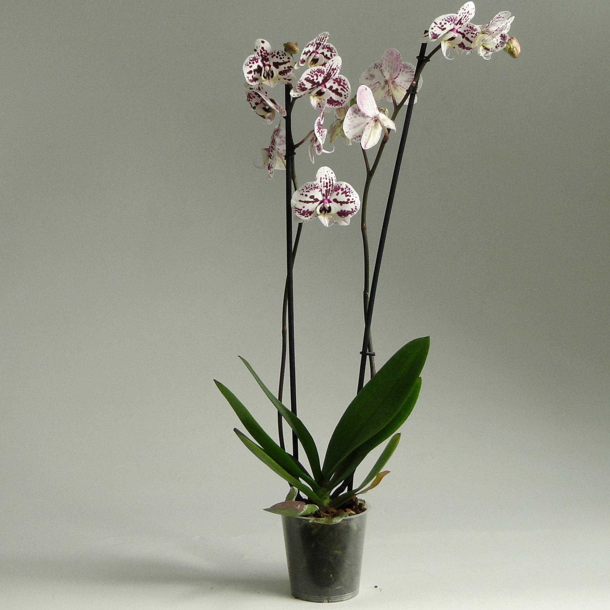Орхидея фаленопсис Tattoo 2 ст