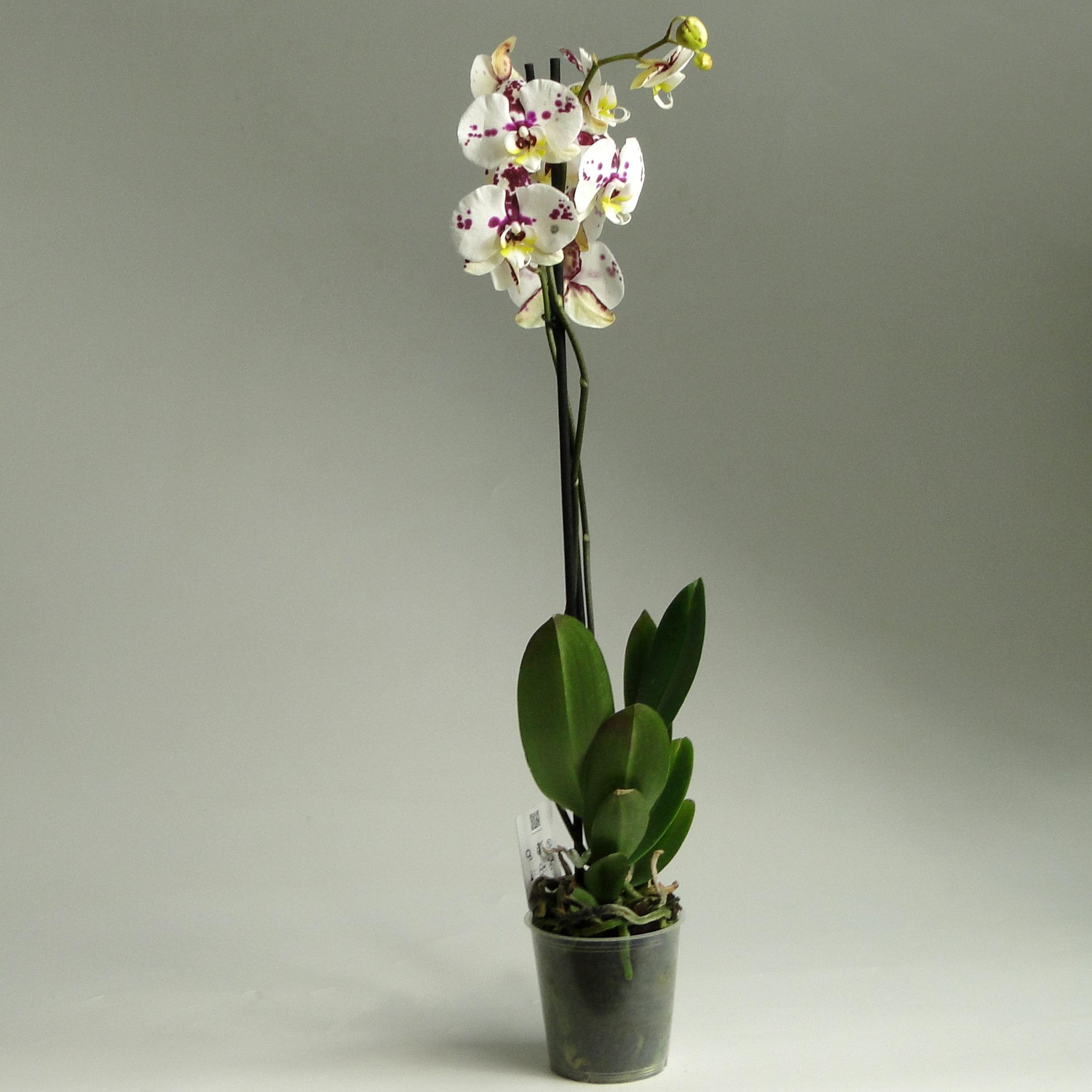 Орхидея фаленопсис Angel Face 2 ст