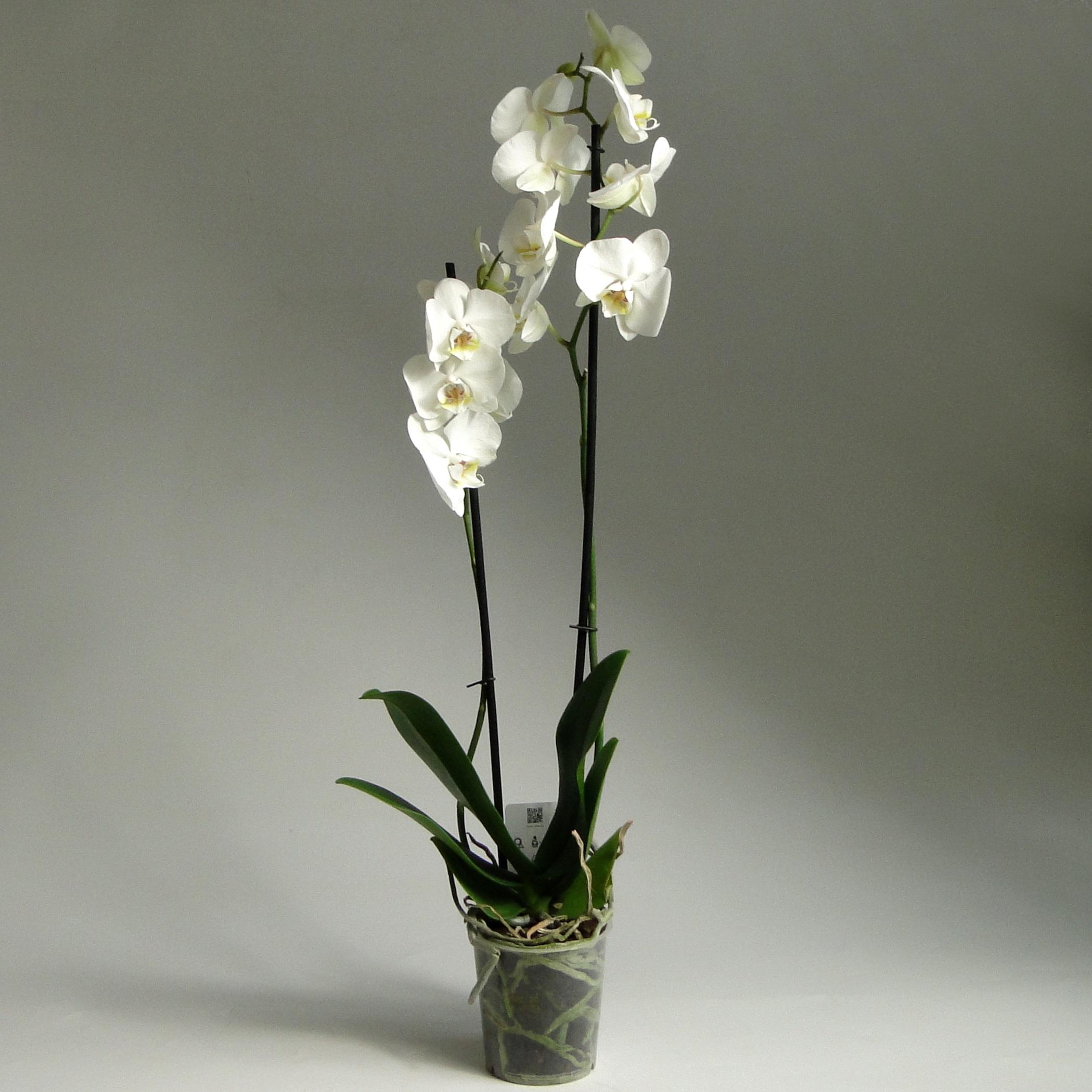 Орхидея фаленопсис Алебастр 2 ст