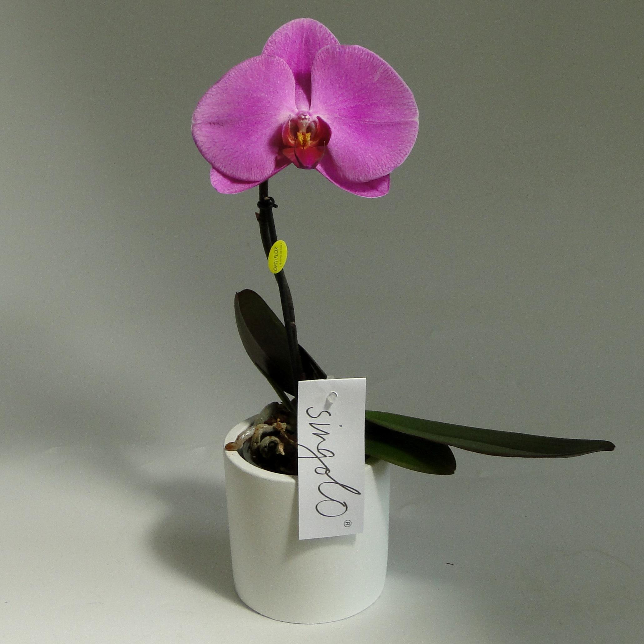 Орхидея фаленопсис Синголо Сиреневая