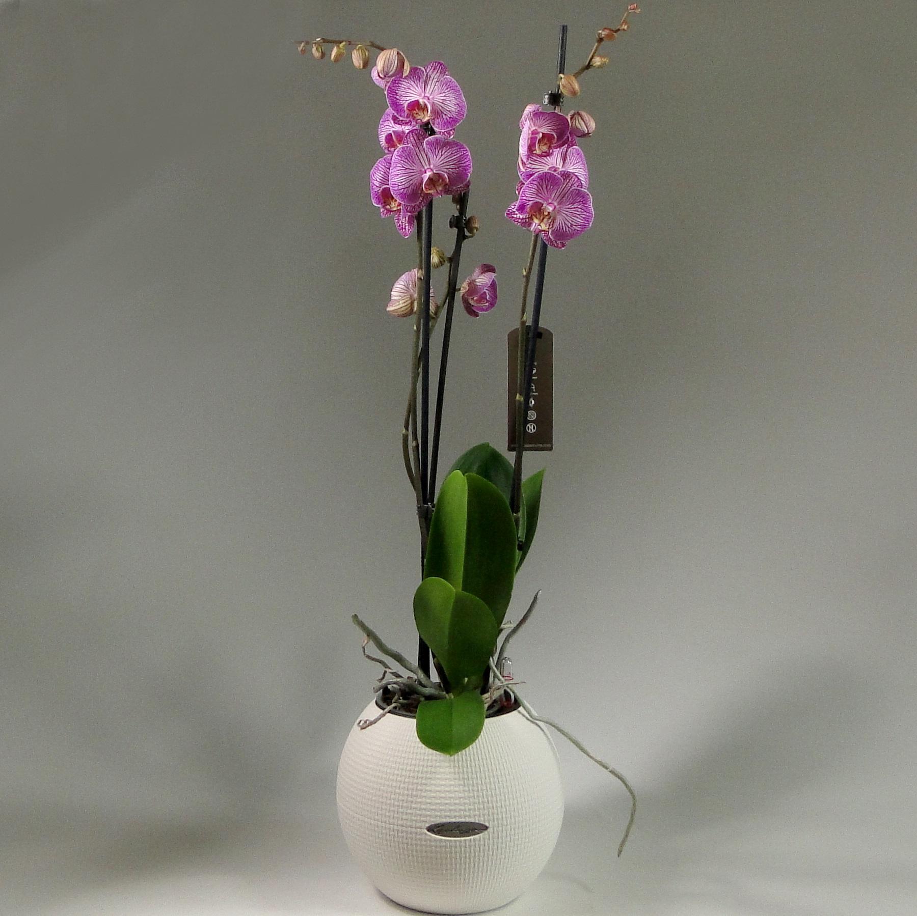 Орхидея фаленопсис 3 ст в Lechuza Puro Color