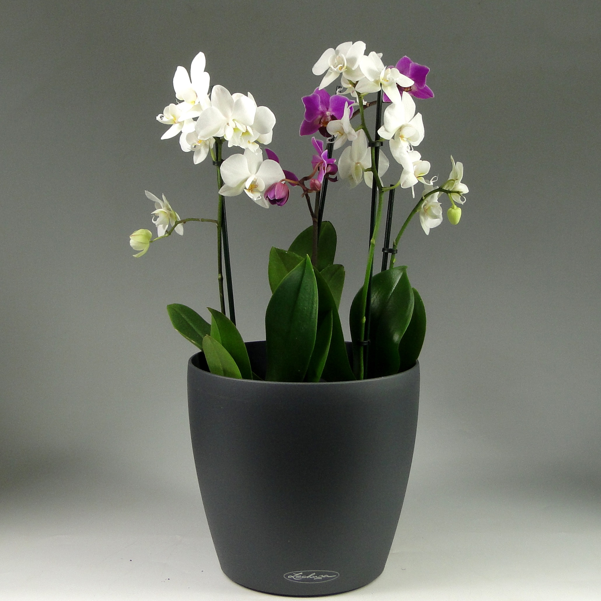 Орхидея фаленопсис + Lechuza Classico 21