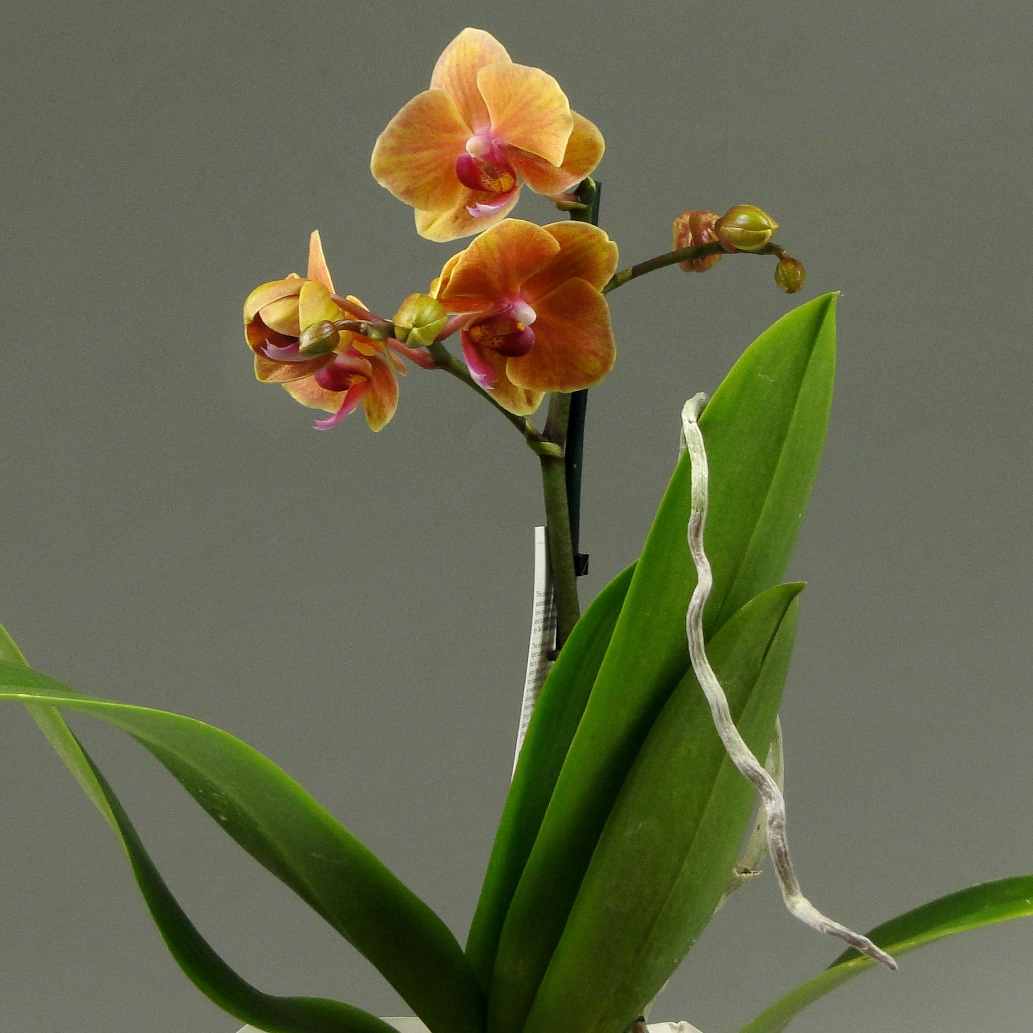 Орхидея фаленопсис Queen Diamond Декорум